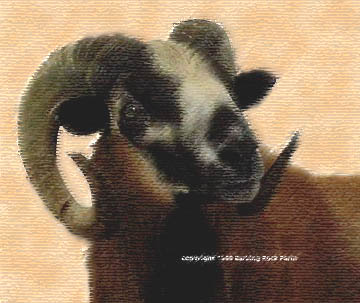 Barking Rock Bopp - 2 year old ram                       copyright 2000 all rights reserved