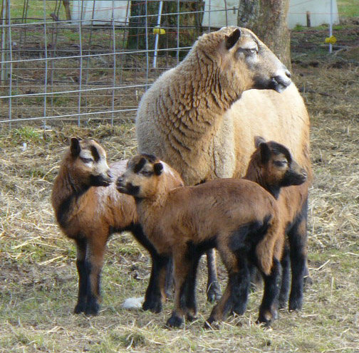 Barbados Blackbelly Ewe with Triplets