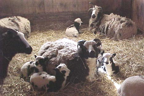 Ewes and lambs relaxing in the barn.